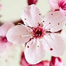 Japanese Cherry Blossom Type Fragrance Oil Soap And Candle Making Supplies