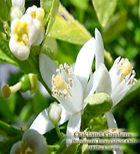 French Lime Blossom Fragrance Oil - French lime blossoms with twist of bergamot.