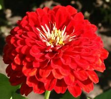 Zinnia Cherry Queen (65 thru 1/2LB seeds) Guaranteed Brilliant Red blooms!  #294