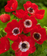 mixed colors anemone bulbs  ~red/white/blue~