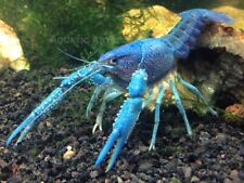 Electric Blue Crayfish (Young Adult, Juvenile, Male/Female Pair, or B-Grade)