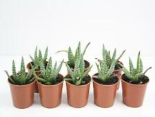 8-100 Plants | Aloe orcus Succulent Gardens Drought | Full Sun Houseplants