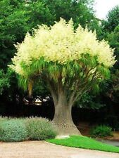 PONYTAIL PALM Beaucarnea Recurvata  20 seeds fresh bonsai PONY TAIL Palm unique
