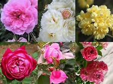 Heirloom Rose Bush Plant Choose  One 1 From 6 Types Pink Yellow White 4 Inch Pot