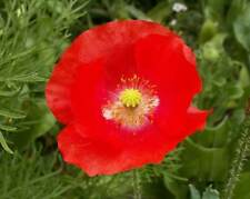 Red Shirley Corn Poppy (1500,3000,6000,12000 seeds) Bulk wildflower flower