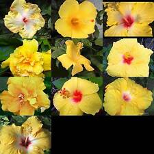 Tropical Hibiscus Plant Yellow Collection Singles Doubles Choose One (1)  SZ4P