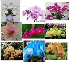 Mixture of 30 Rare Kinds of Butterfly Orchid Seeds. (Phalaenopsis) Beautiful