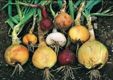 Heirloom Onion Seeds-Spanish white,Yellow,burgundy,bunching 6 kind 2015 Comb S&H