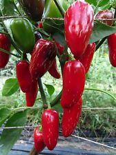 Early Jalapeno Pepper Seeds - ORGANIC Non-GMO Heirloom
