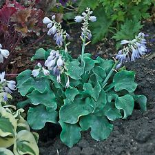 "hosta CHURCH MOUSE mini thick disease-free small 2"" pot ☆1 Potted Starter Plant☆"