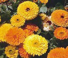 CALENDULA PACIFIC BEAUTY Calendula Officinalis Bulk Flower Seeds + Free Seeds