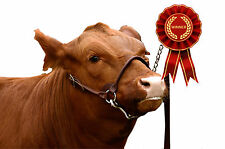 Rolled Leather Cattle Show Halters Calf Heifer Cow Showing Lead Chain Dairy Beef