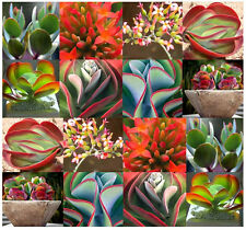 15 x Kalanchoe Species Mix - EXOTIC & RARE xeriscaping mesembs - Succulent SEEDs