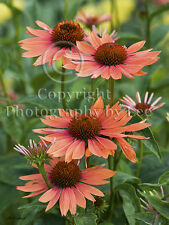'Sunset' Orange Echinacea coneflowers photo note card blank floral greeting card