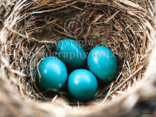 Bluebird eggs in a nest photo greeting notecard, blank spring greeting note card