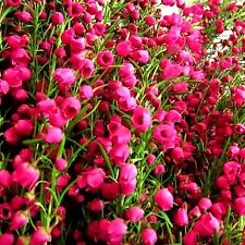 Australian Red Boronia Fragrance Oil Candle/Soap Making, Oil Burners, Diffusers