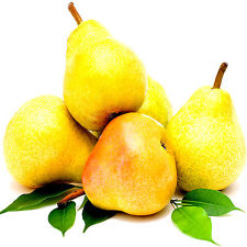 FRENCH PEARS Reed Diffuser Oil Refill BONUS FREE Reeds