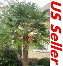 Windmill Palm Tree Seeds T31 Hardy Trachycarpus fortunei Evergreen 15/30/60 Seed