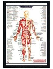Black Wooden Framed Human Body Major Anterior Muscles Maxi Poster 61x91.5cm