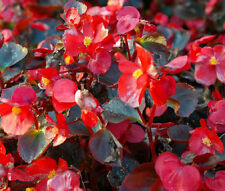BEGONIA WAX RED Begonia Semperflorens Bulk Seeds