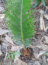 SAGO PALM baby / starter plants - 2 ORGANIC ROOTED INFANTS