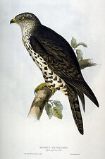 New Vintage John Gould Art Print or Poster #9 Repro Birds Giclee Archival Inks