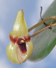 Pleurothallis scurrula Awesome Species Orchid Import