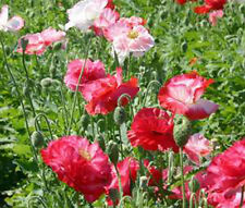 SHIRLEY POPPY DOUBLE MIXED Papaver Rhoeas Bulk Flower Seeds + Free Seeds