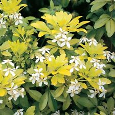 CHOISYA SUNDANCE 1 LTR GOLDEN YELLOW FOLIAGE ORANGE BLOSSOM GARDEN MEXICAN