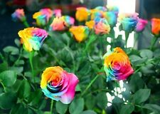 Rare Holland Rainbow Rose Bush Stratisfied seeds. Shipping from USA!
