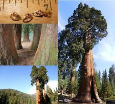 Sequoia / Giant sequoia SEEDS - Quantity selectable - Redwood - Winter hardy