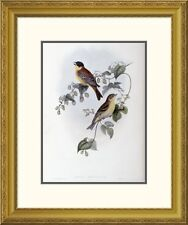 Global Gallery 'Black Headed Bunting' by John Gould Framed Graphic Art