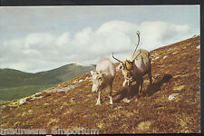 Animals Postcard - Reindeer In The Cairngorms, Near Aviemore  A6477