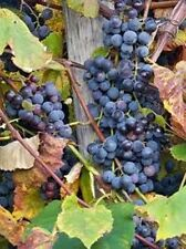 Purple concord grape vine, hardy perennial 30+ cuttings bulk listing