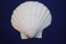 Large White Pecten Seashells, White Irish Cup Seashells,DIY Shell Ornament Craft