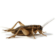 "Crickets 1/4"" Live Original Brown Crickets, From 100 to 5000 Counts"