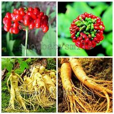 Chinese Panax Ginseng Seeds Wild Herbal Medicine Fresh WITH PLANTING INSTRUCTION