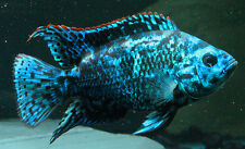Electric Blue Jack Dempsey Cichlid 1 inch Live Fish Freshwater FULLY GUARANTEED