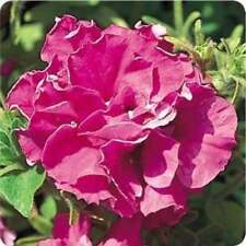 DOUBLE Madness BURGUNDY ~ PETUNIA ~ 25 Pelleted SEEDS