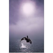 Poster Print Wall Art entitled Orca Breaching in Fog