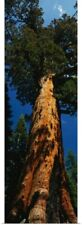 Poster Print Wall Art entitled California, redwood, Grizzly Giant
