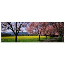 Poster Print Wall Art entitled Fruit trees in a mustard field, Napa Valley,