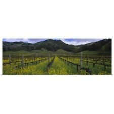 Poster Print Wall Art entitled Mustard plants growing in a vineyard Napa Valley