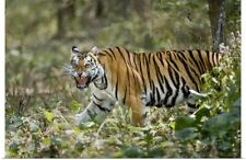 Poster Print Wall Art entitled Bengal Tiger Panthera tigris tigris in a forest