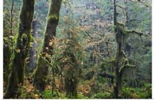 Poster Print Wall Art entitled Moss draping trees in old-growth forest, Hoh Rain