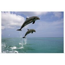 Poster Print Wall Art entitled Pair of Bottle Nose Dolphins Jumping Roatan
