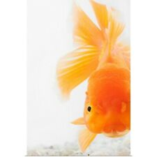 Poster Print Wall Art entitled Orange lionhead goldfish (Carassius auratus).