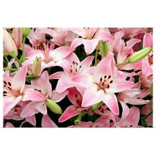 Poster Print Wall Art entitled Asiatic lily (Lilium 'Vermeer')