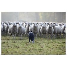 Poster Print Wall Art entitled Flock of sheep facing a border collie