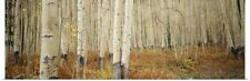 Poster Print Wall Art entitled Aspen trees in the forest, Aspen, Colorado